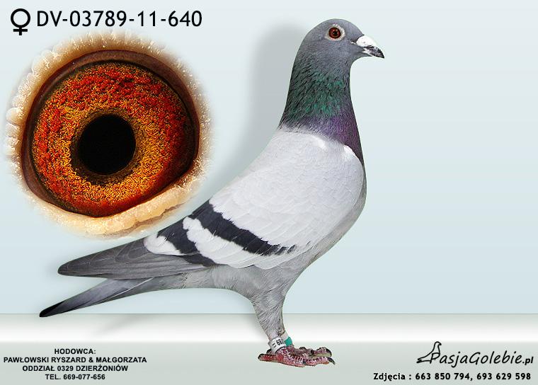 DV-03789-11-640